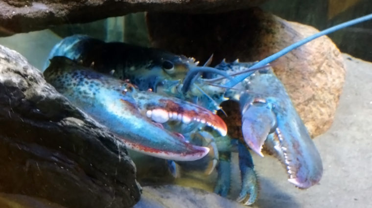 A one-in-a-million blue lobster has arrived at Save The Bay's Exploration Center and Aquarium