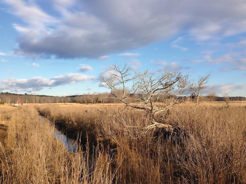 A cedar tree in Broad Cove marsh has died off due to salt water.