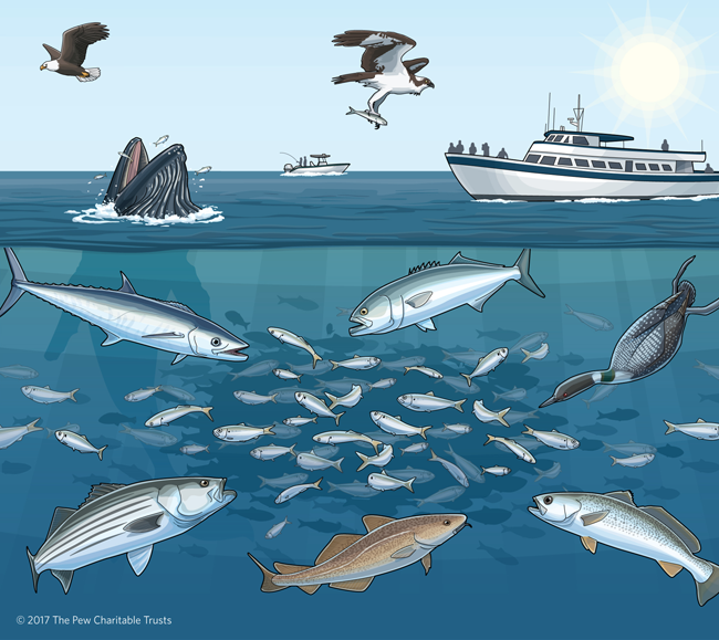 As filter feeders, Atlantic menhaden play an important role in the Narragansett Bay ecosystem. Courtesy: The Pew Charitable Trusts.