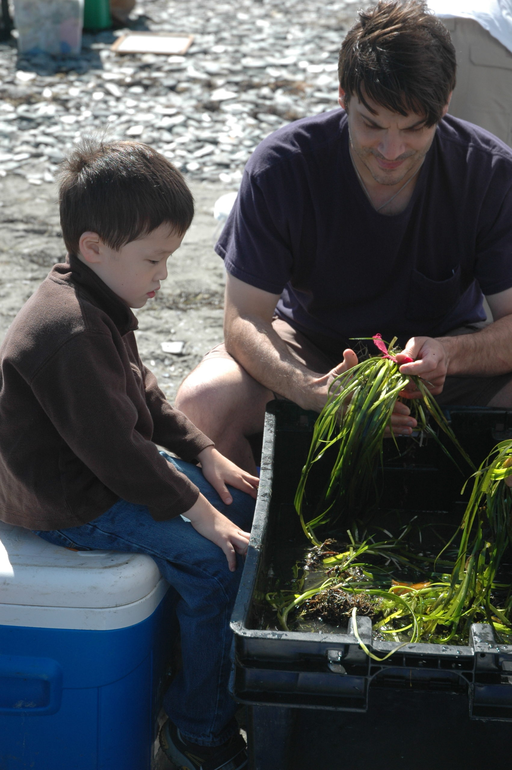 Father and son ready eelgrass shoots for transplantation