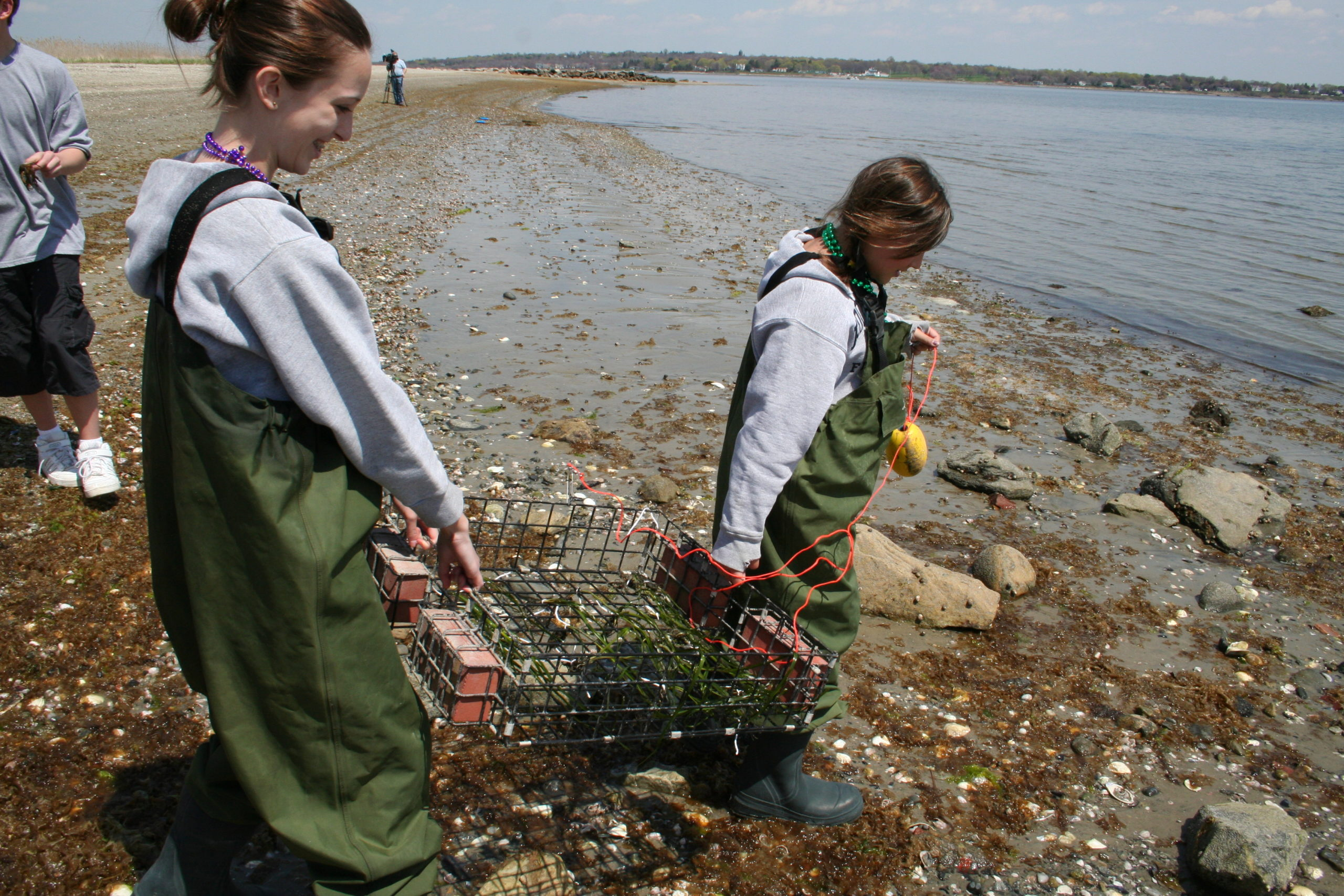 Volunteers transplant eelgrass in Narragansett Bay