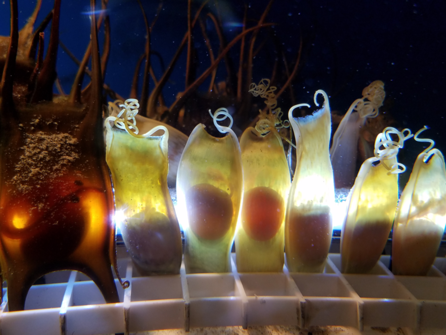 Skate and shark egg cases at Save The Bay's Exploration Center and Aquarium