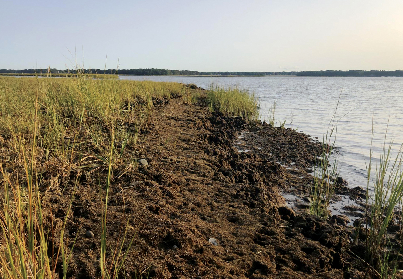 An explosion of fiddler crab burrows has accelerated salt marsh loss throughout Hundred Acre Cove where sea level rise has stressed the marsh plants.