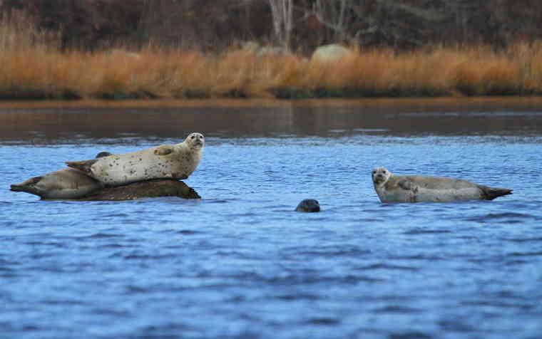 2 Seals in the Pawcatuck River