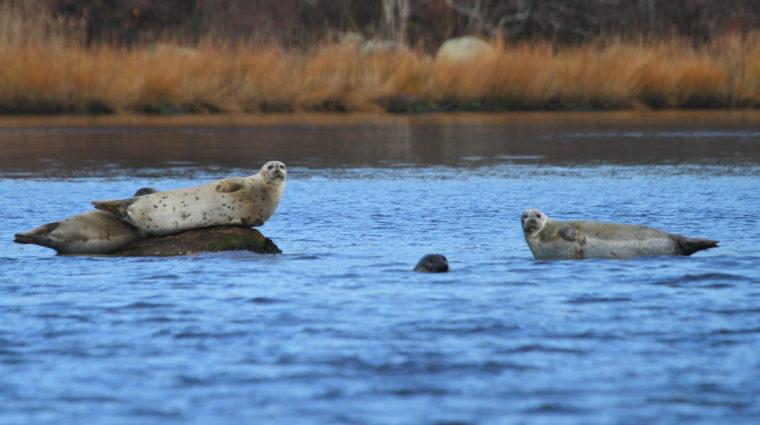 Harbor Seals in Pawcatuck River