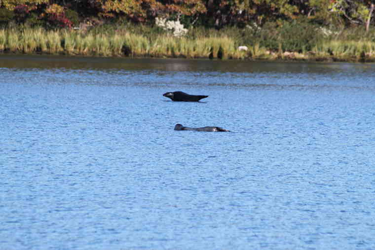 Harbor seals resting in the Pawcatuck River.
