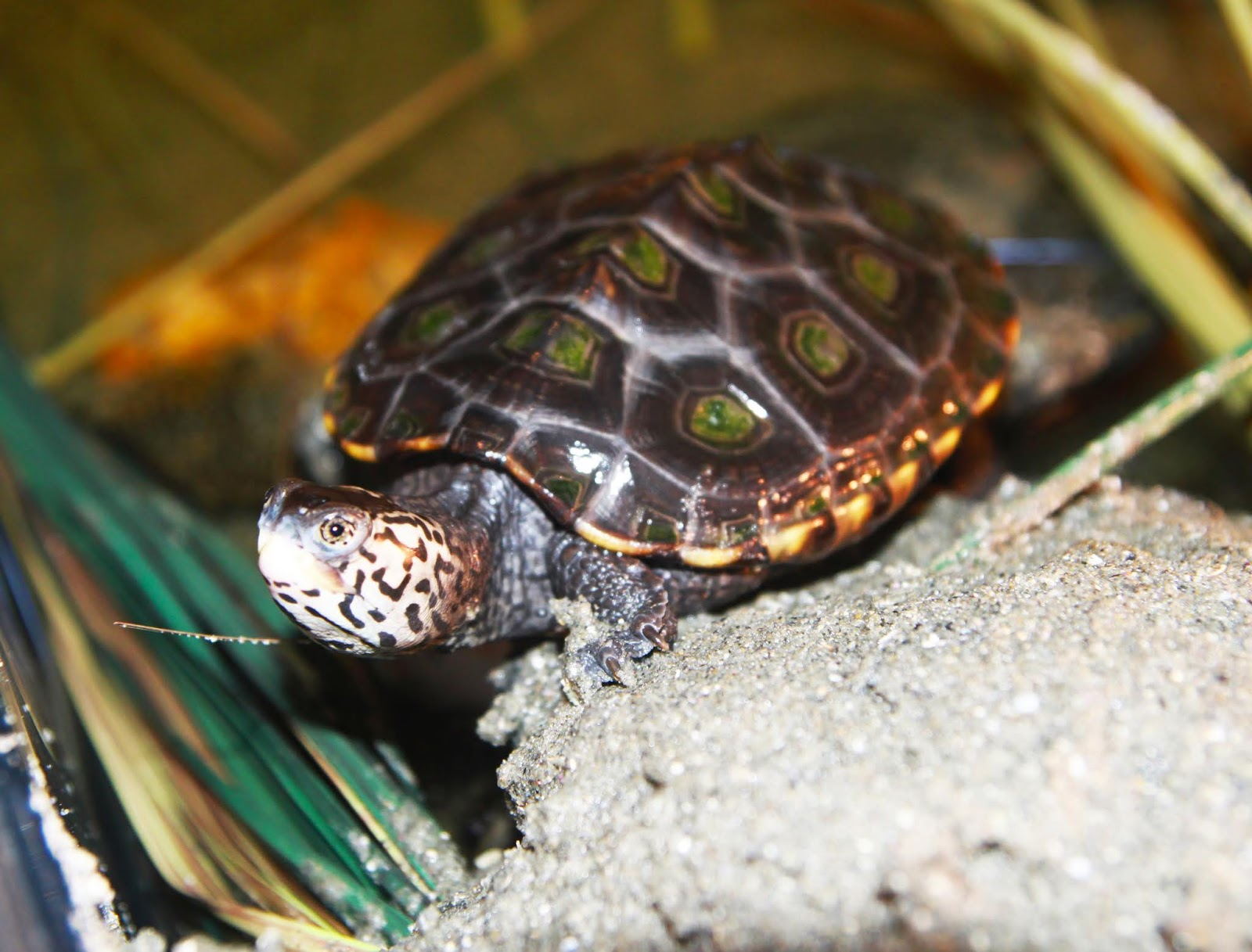 Jerry, one of the two Diamondback Terrapins at Save The Bay's Exploration Center and Aquarium