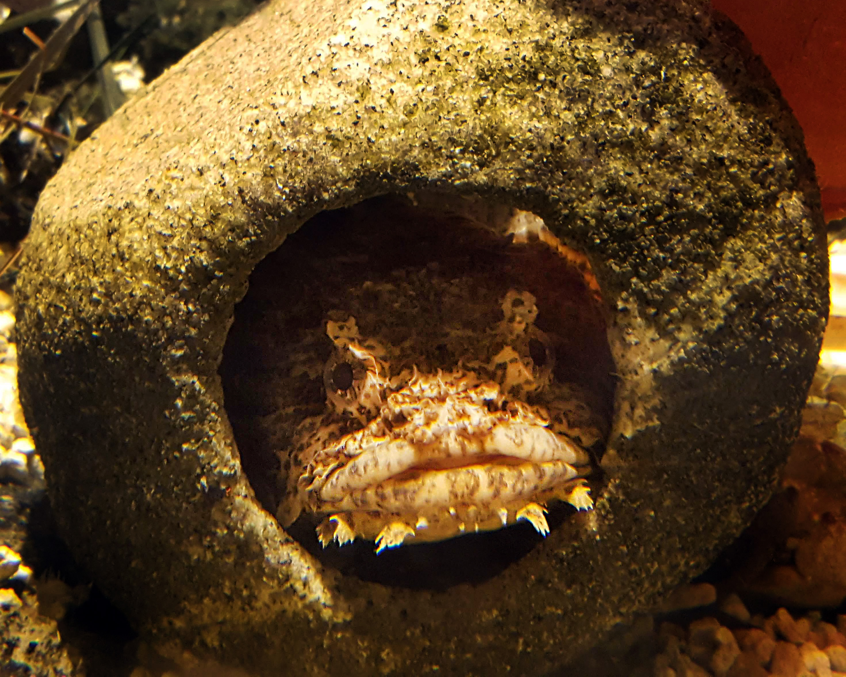 Find the oyster toadfish and other crazy cool fish at the aquarium this January