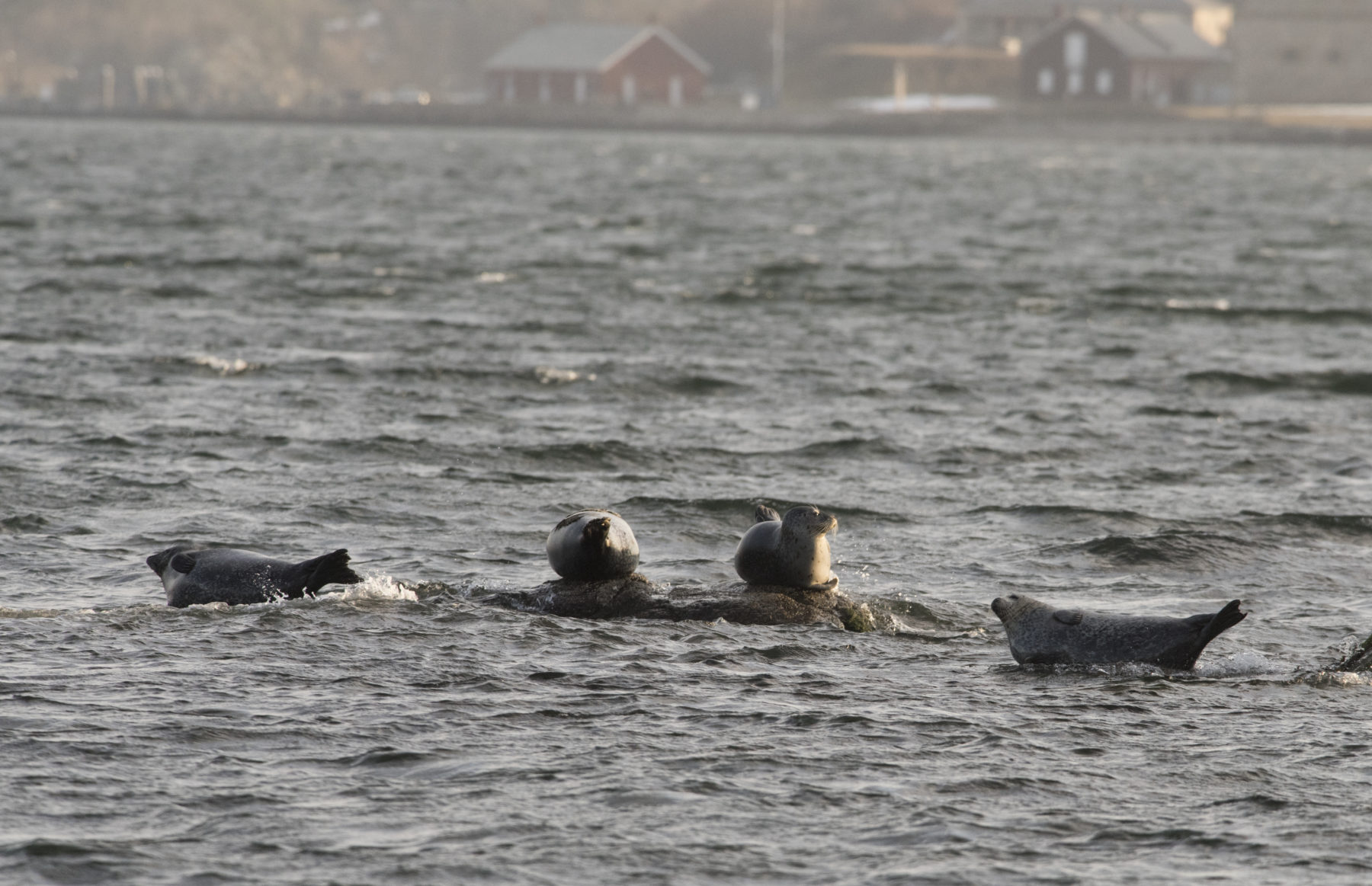"Seals ""hauled out"" in Narragansett Bay, taking on a classic ""banana pose"" resting position."