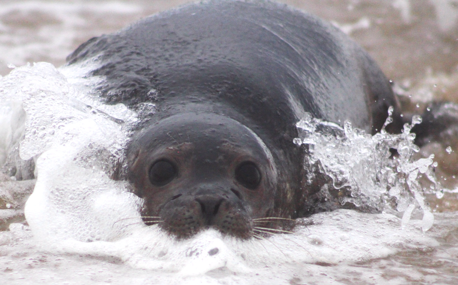 Harbor seal in beach surf