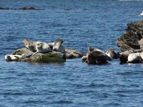 Seals hauled-out on rocks in Newport Harbor. Photo by Marie-Louise Strijbos.