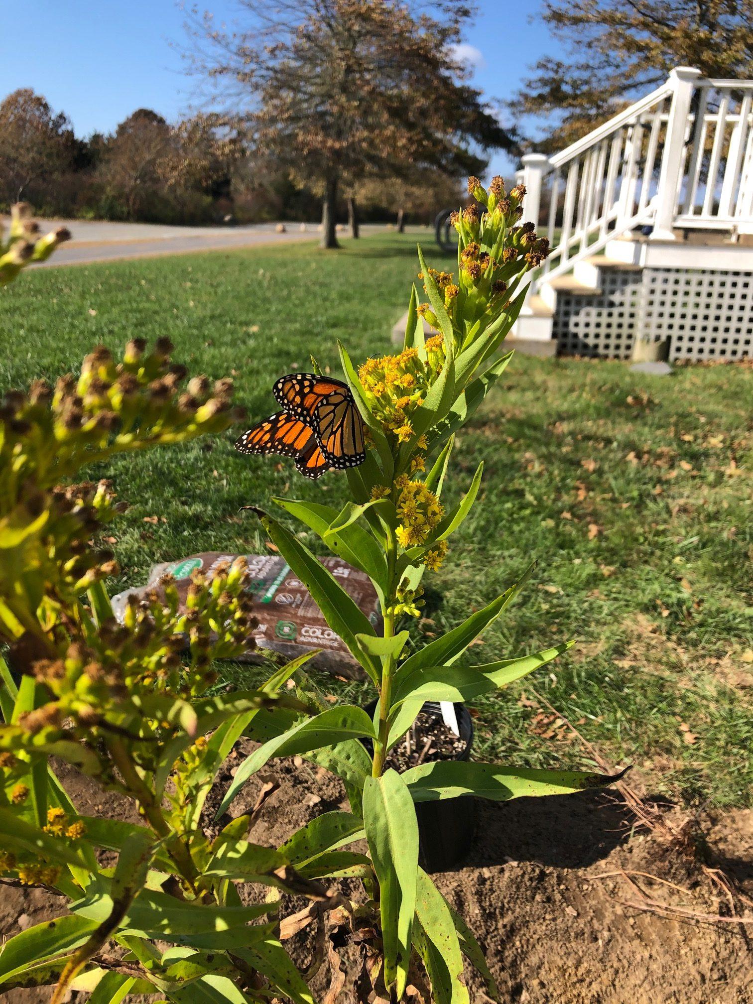 A monarch butterfly in a rain garden in Charlestown, Rhode Island.